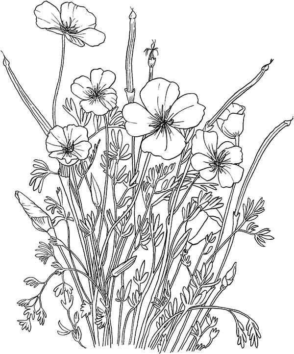 California Poppy, : California Poppy in the Garden Coloring Page