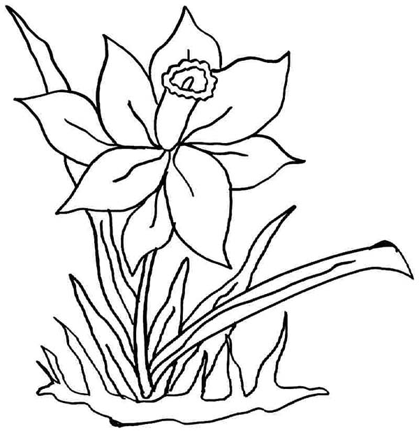 Daffodil, : Daffodil Coloring Page for Kids