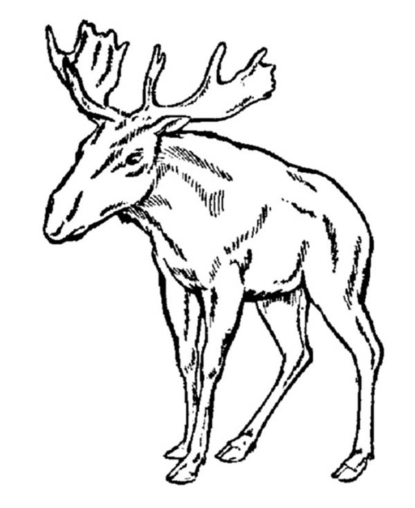 Moose, : Female Moose Coloring Page