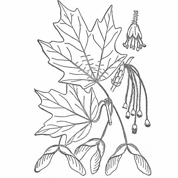 Maple Leaf, : Hard Maple Leaf Coloring Page