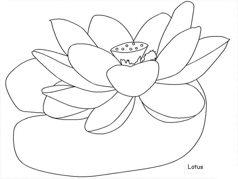 Lotus Flower, : Indian Lotus Flower Coloring Page