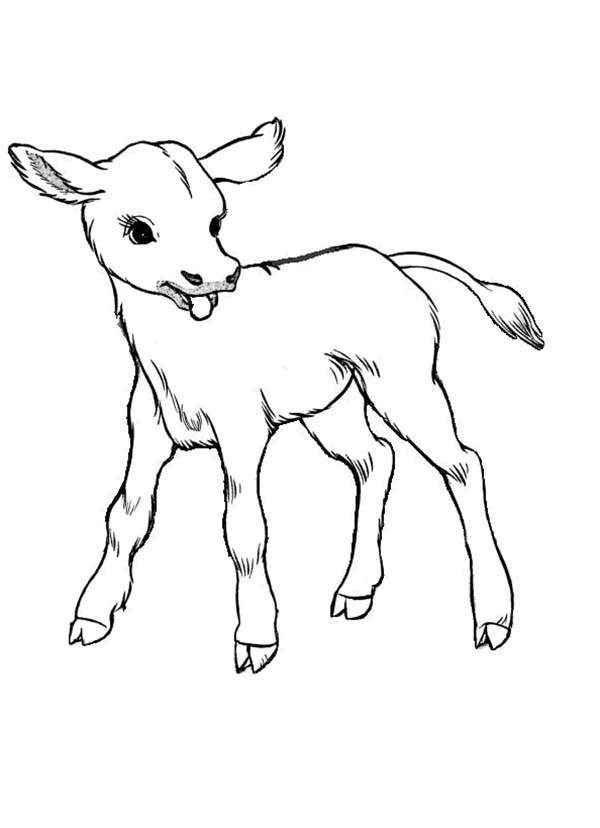 Cow, : Just Born Baby Cow Coloring Page