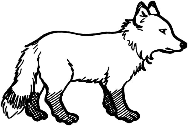 Arctic Animals, : Little Arctic Fox in Arctic Animals Coloring Page