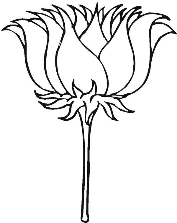 Lotus Flower, : Lotus Flower Picture Coloring Page