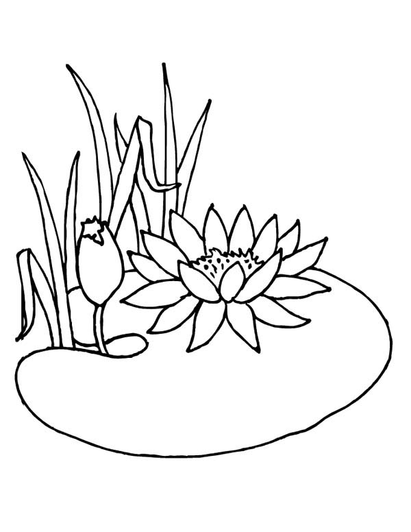 Lotus Flower, : Lotus Flower is not Water Lily Coloring Page