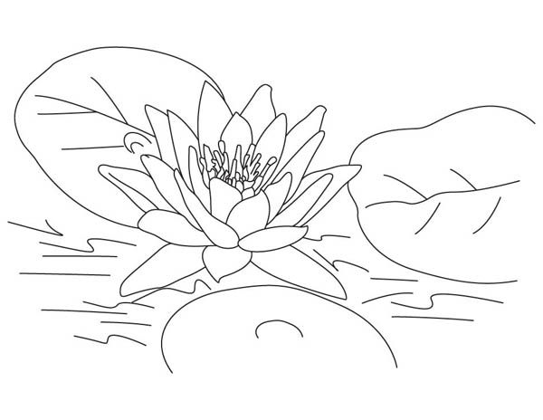 Lotus Flower, : Lovely Lotus Flower Coloring Page