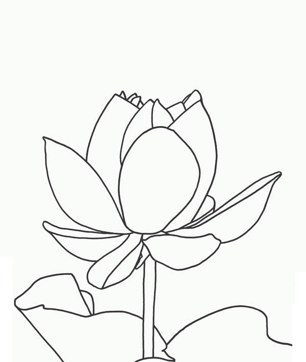 Lotus Flower, : Magnificent Lotus Flower Coloring Page