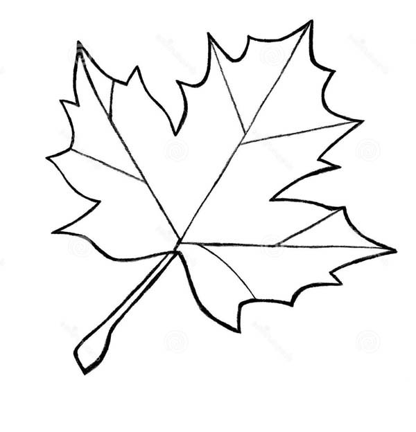 Maple Leaf, : Maple Leaf Sketch Coloring Page