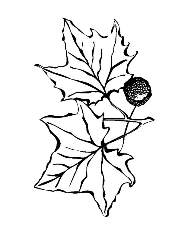 Maple Leaf, : Maple Leaf and Maple Fruit Coloring Page