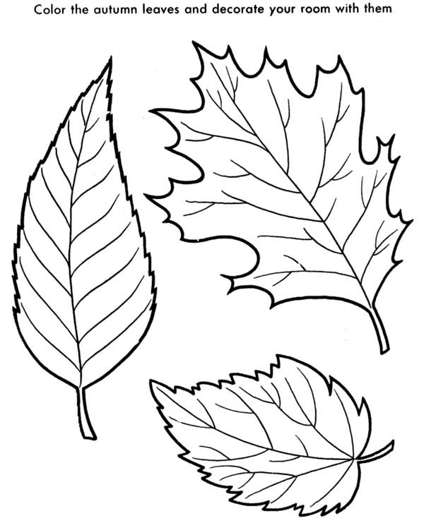 Maple Leaf, : Maple Leaf is the Autumn Leaves Coloring Page