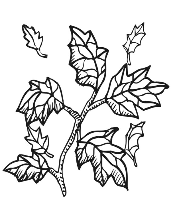 Maple Leaf, : Maple Tree Branch with Maple Leaf Coloring Page