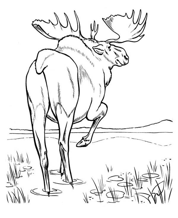 Moose, : Moose Walking in the Swamp Coloring Page