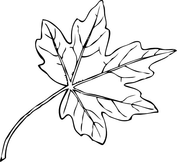 Maple Leaf, : Paperbark Maple Leaf Coloring Page