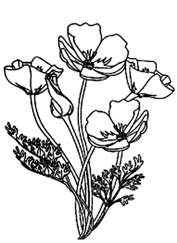 California Poppy, : Picture of Blooming California Poppy Coloring Page