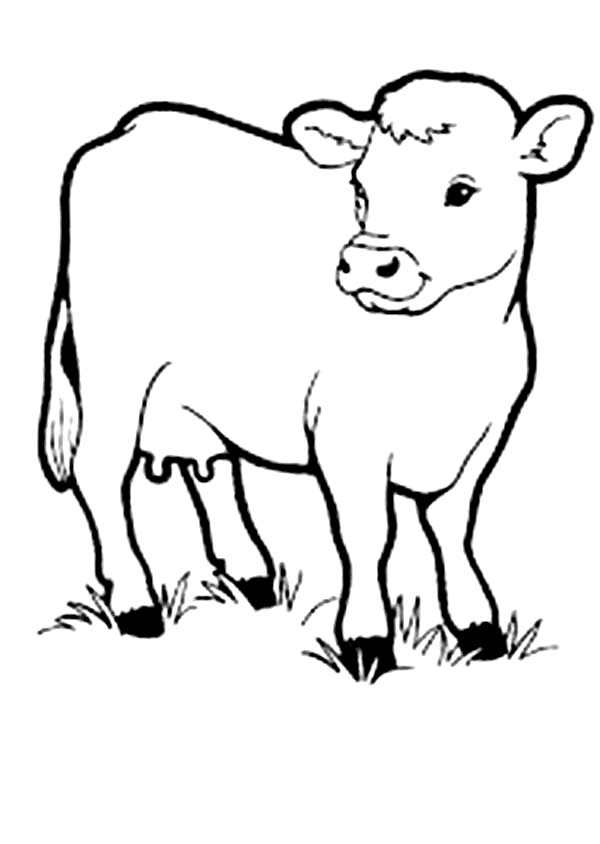 Cow, : Picture of Cow Coloring Page
