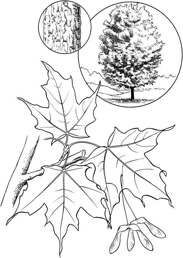 Maple Leaf, : Sugar Maple Leaf Coloring Page