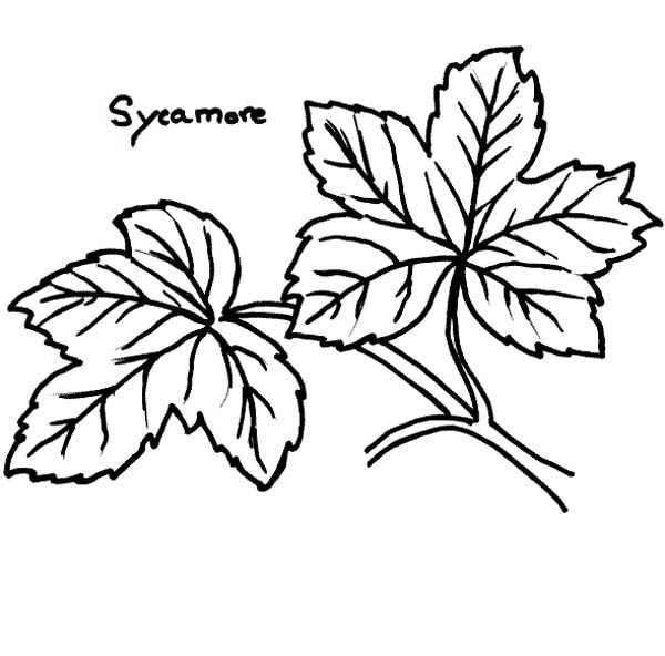 Maple Leaf, : Sycamore Maple Leaf Coloring Page