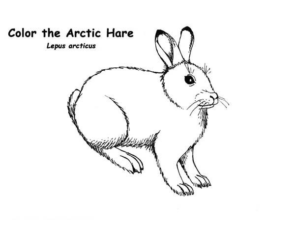 Arctic Animals, : The Arctic Hare in Arctic Animals Coloring Page