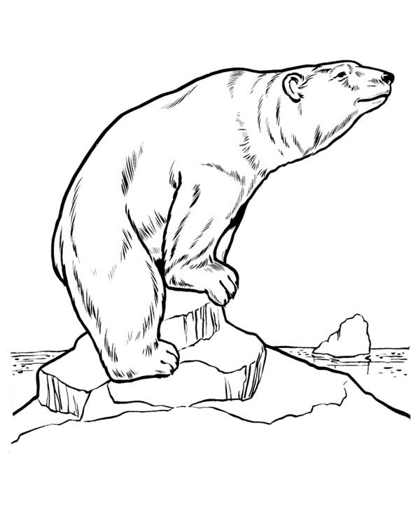 Polar Bear, : Amazing Polar Bear Coloring Page