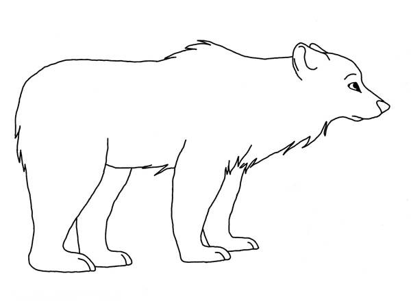 Polar Bear, : Polar Bear Drawing Coloring Page