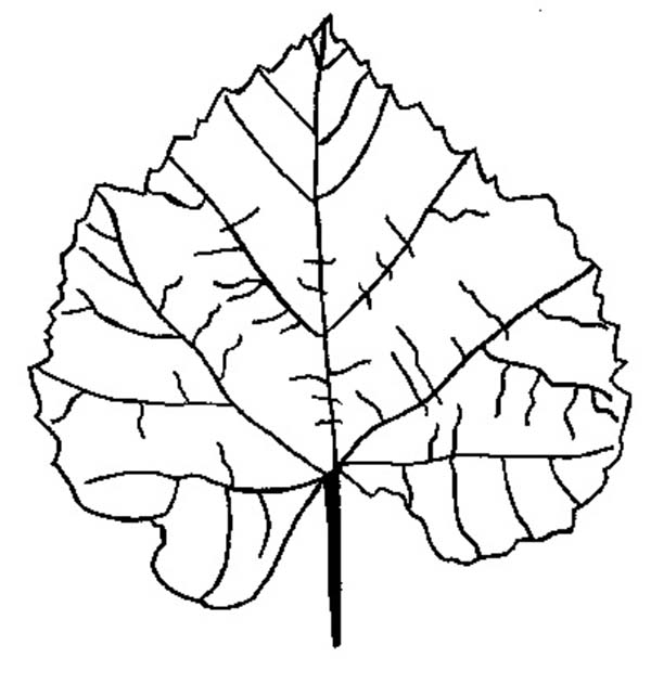 Autumn, : Birch Autumn Leaf Coloring Page