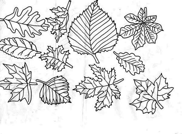 Autumn, : Image of Autumn Leaf Coloring Page