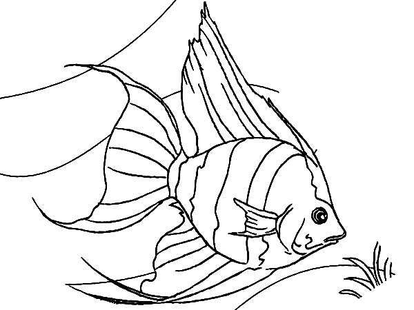 Coral Reef Fish, : Coral Reef Angel Fish Coloring Pages