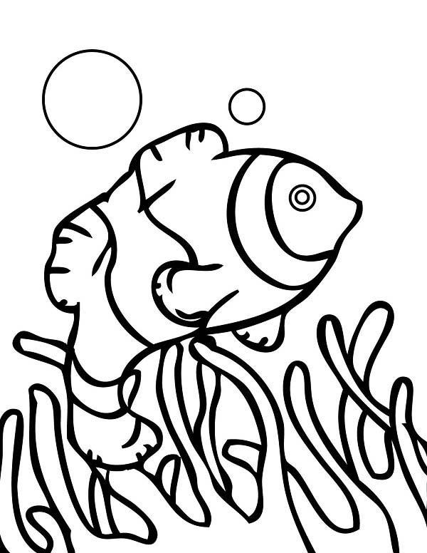 Coral Reef Fish, : anemonefish
