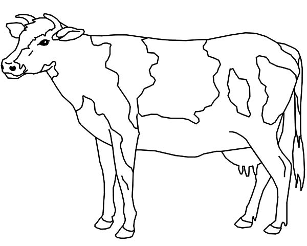 Cows, : Cows Coloring Pages
