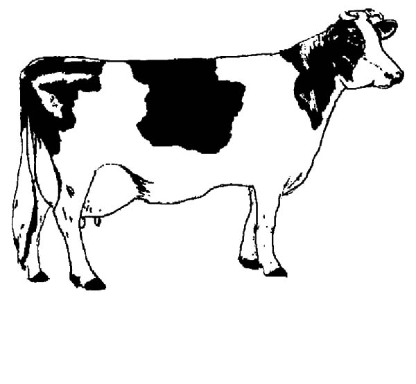 Cows, : Raising Cows for Meat Coloring Pages
